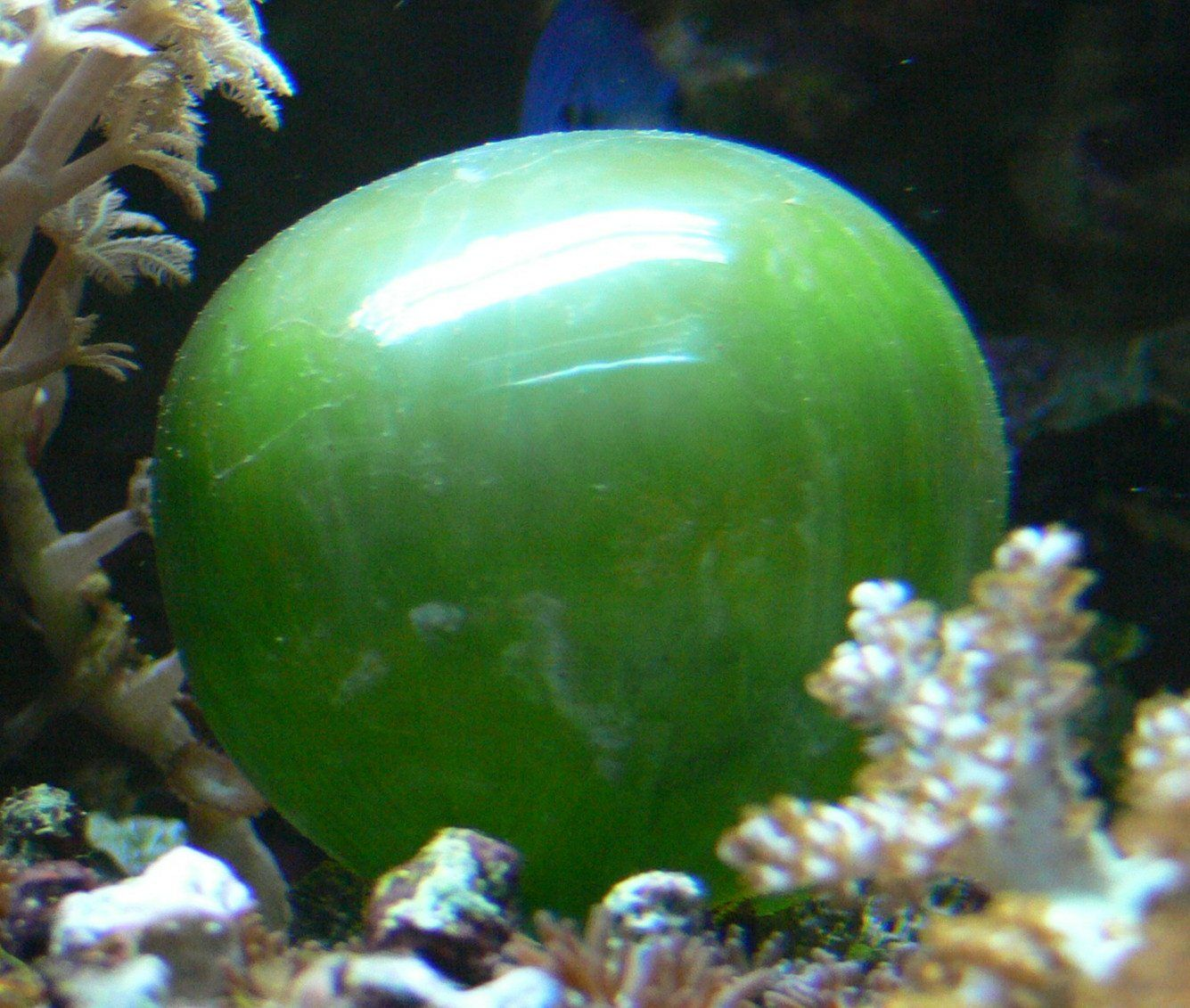Valonia ventricosa one of the largest unicellular algae