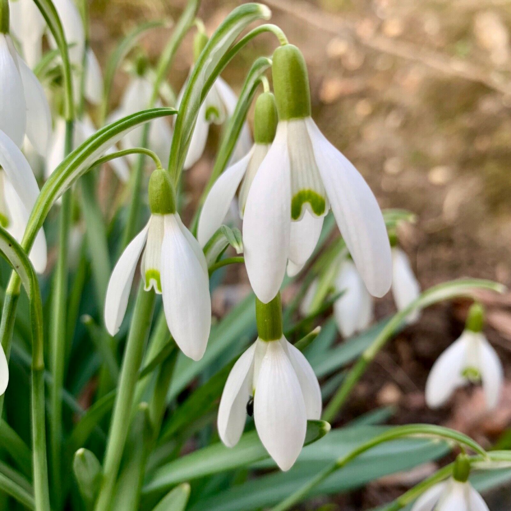 Single Snowdrop Bulbs Galanthus Nivalis Snowdrops Spring Flowering Bulbs Ebay Spring Flowering Bulbs Spring Flowers Garden Bulbs