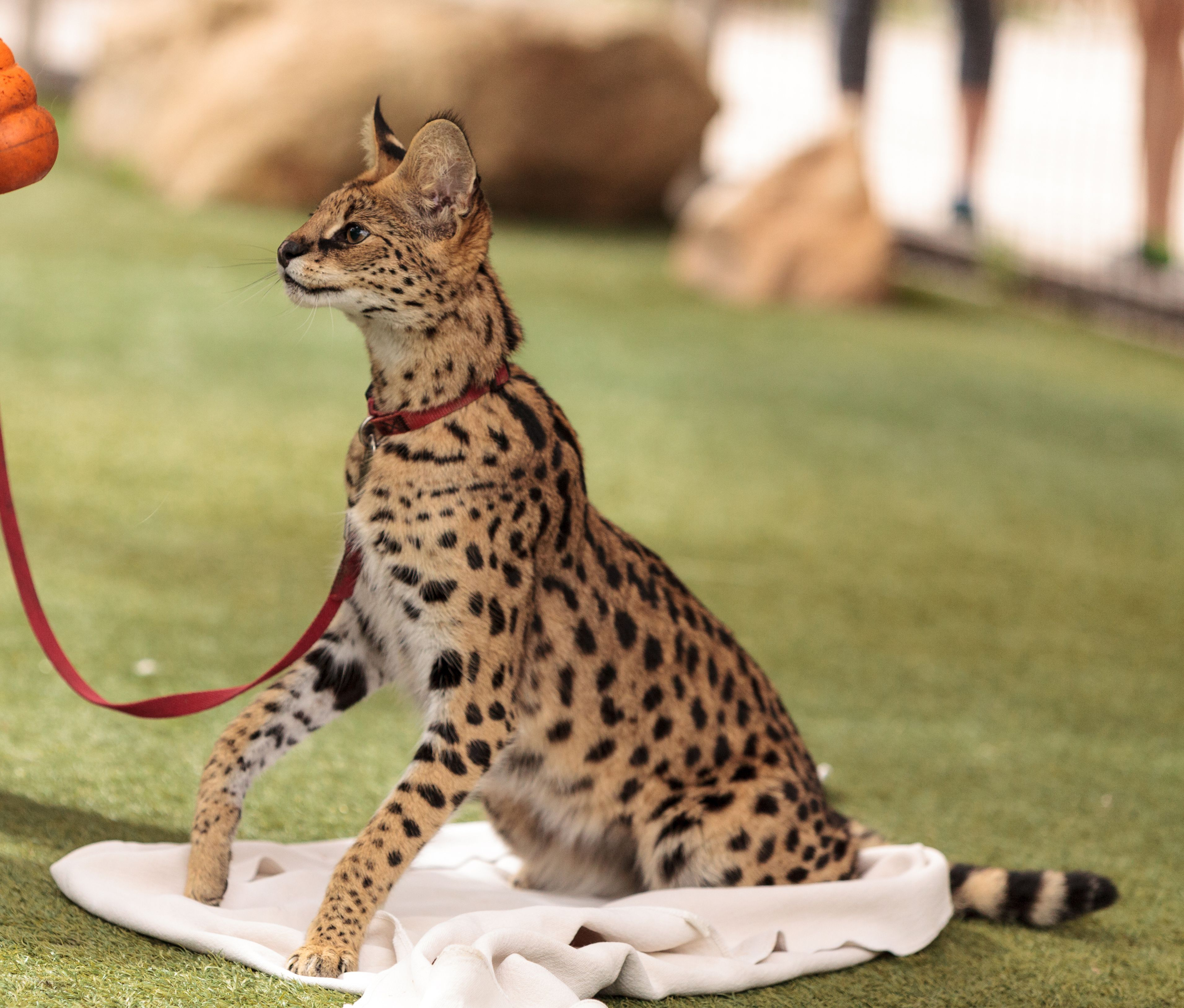 Pin On Beautiful Exotic Cat Breeds And Mixes