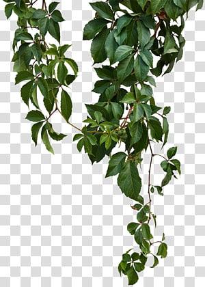 Vine Green Vines Green Leafed Plant Transparent Background Png Clipart Plant Background Tree Photoshop Plants