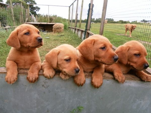 Red Fox Lab Puppies This Might Make Me Reconsider The No Pets