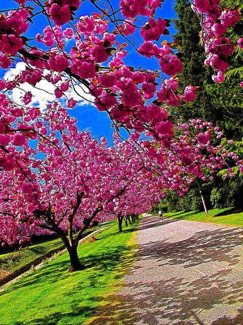 Japan In India India S 2nd Autumn Cherry Blossom Festival In Shillong Know It All Nov Cherry Blossom Festival Pink Flowering Trees Trees For Front Yard