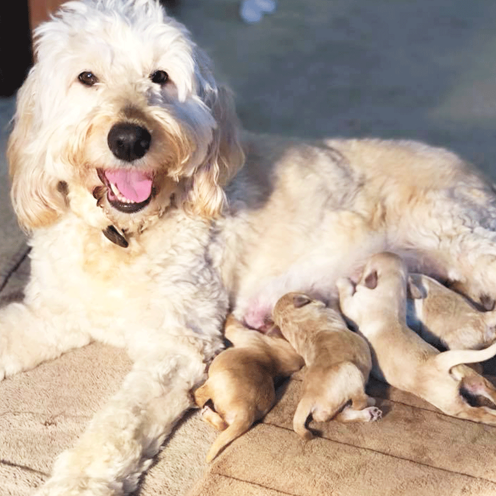 A Litter Of Mini Goldendoodle Puppies Doodle Puppy Goldendoodle Puppies