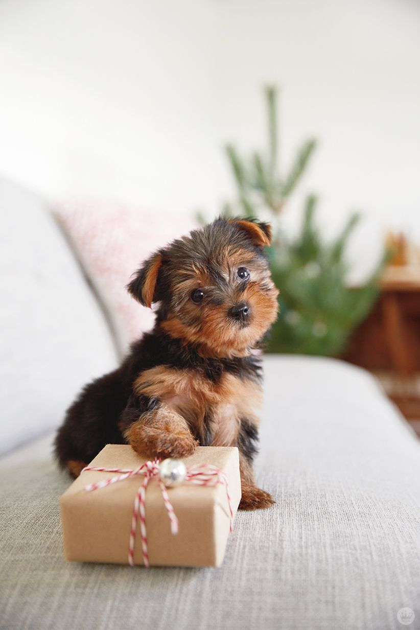 13 Ridiculously Cute Holiday Pet Photo Ideas Cute Dog Pictures