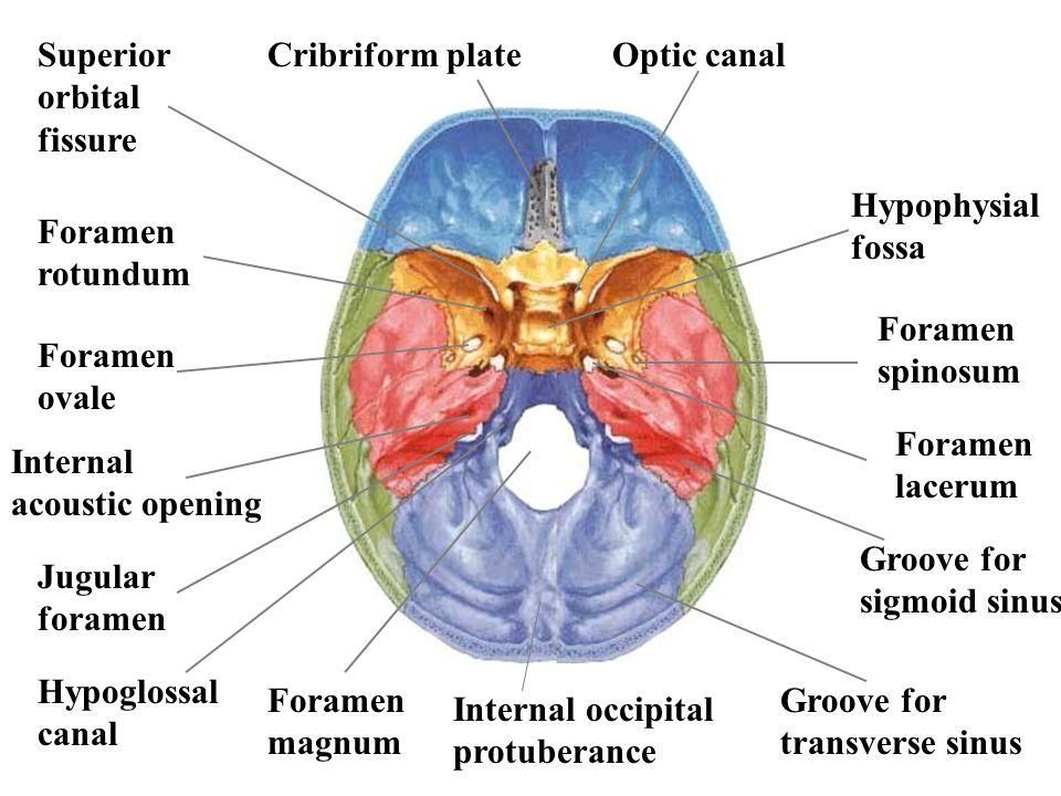 foramen spinosum is an anatomical structure - foramen in sphenoid, Sphenoid