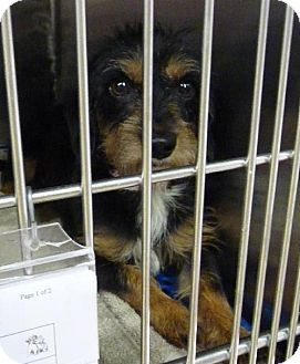 Zanesville, OH Dachshund Mix. Meet 39130 Susie, a dog