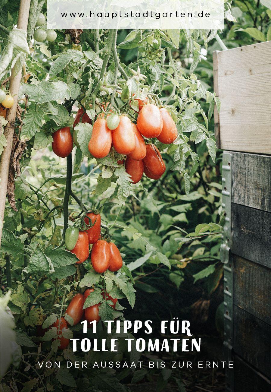 So klappt's mit den Tomaten #tomatenzüchten