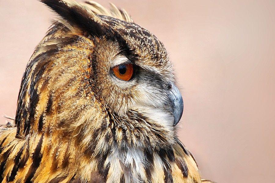 Oehoe  (Van vroegevogels)