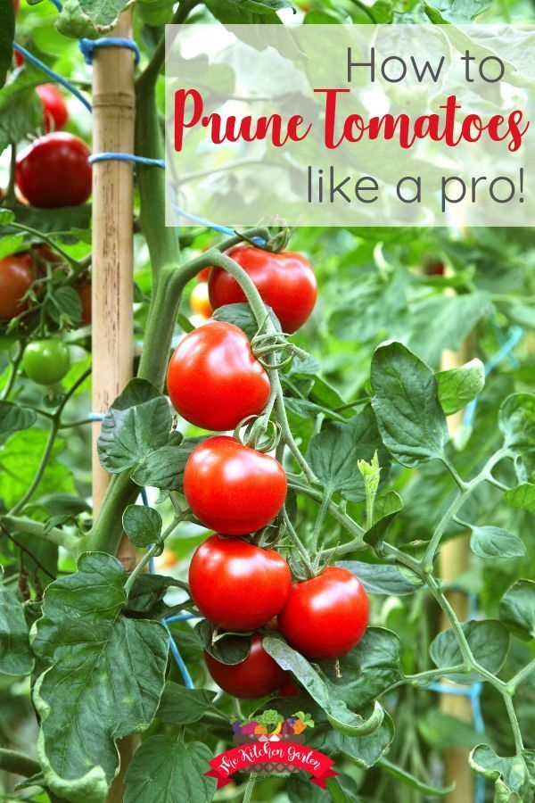how to prune tomatoes can you give you a more abundant and consistent harvest in your summer garden. Pruning is quick, easy, and keeps your tomato plants from being bushy and unproductive. Find out how to prune your tomato plants!Knowing how to prune tomatoes can you give you a more abundant and consistent harvest in your summer garden. Pruning is qui...