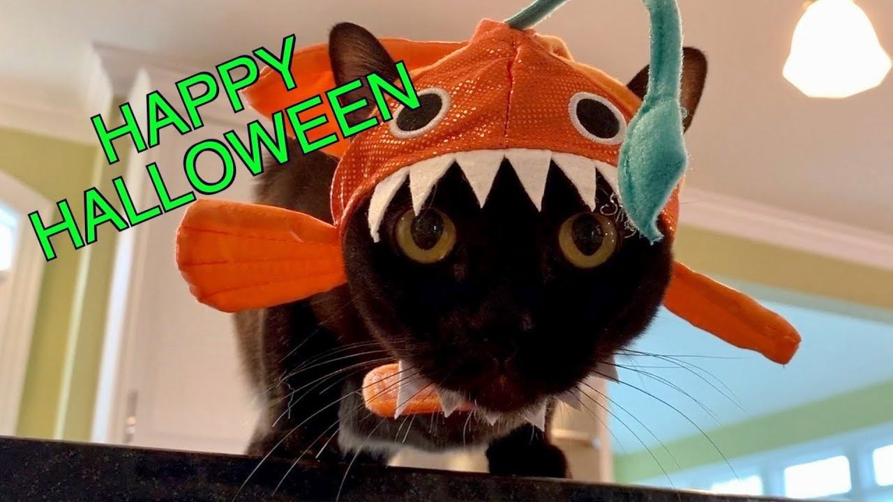 Cute Burmese Cats In Halloween Hats Adorable Funny Youtube In 2020 Burmese Cat Cute Cats And Kittens Halloween Hats
