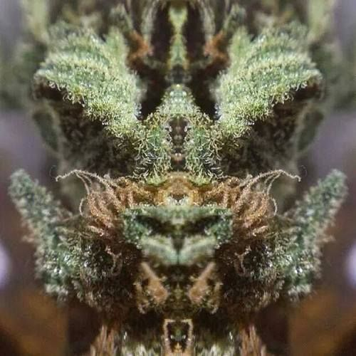 DragonWeed, nos ordena que... - http://growlandia.com/highphotos/media/DragonWeed-nos-ordena-que/