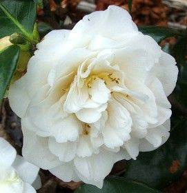 Camellia Japonica 'Han Ling Snow' (U.S., 1973)