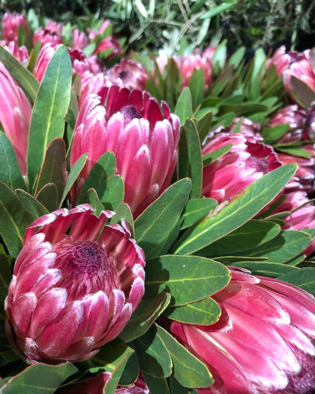 Geelong Flower Farm On Instagram Thomas White Leopard Pink Ice Protea Flower Farm Flowers White Leopard