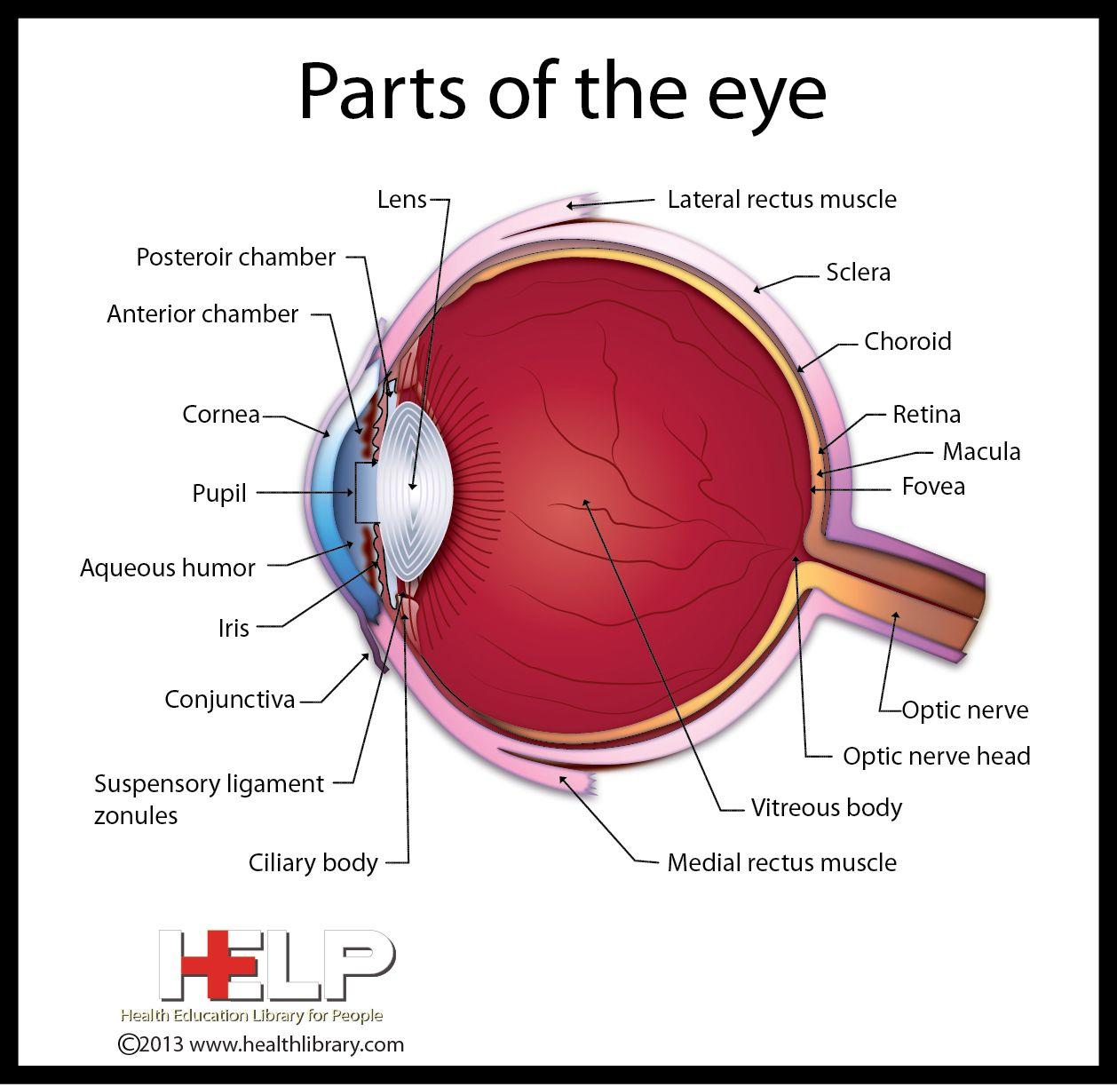 Science Project _ Parts of the Eye | Big Guy | Pinterest | Science ...