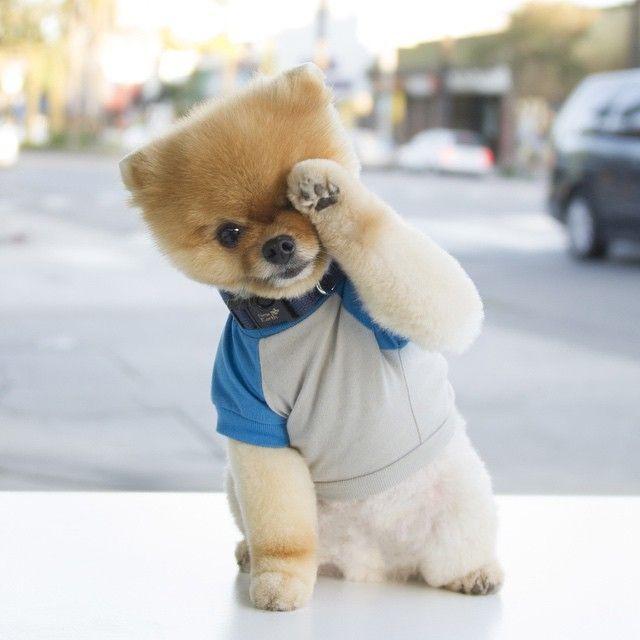 Jiff BooWorlds Cutest Dog Others Pinterest Pomeranians - Jiff the pomeranian is easily the best dressed model on instagram