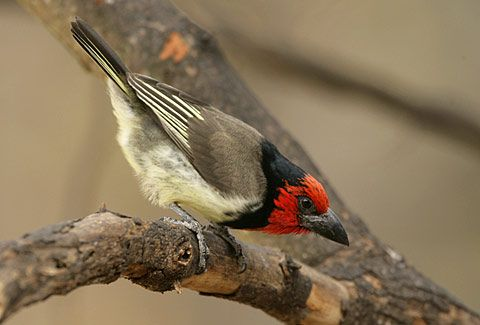 black collared Bird | Black-collared Barbet Lybius torquatus