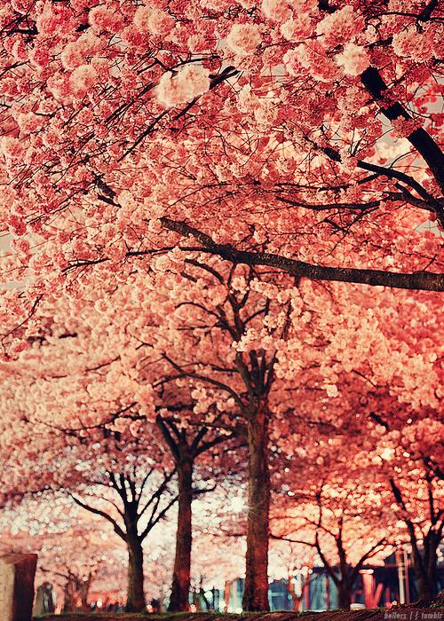 Cherry Blossom Trees Cherry Blossom Tree Japanese Cherry Blossom Cherry Blossom