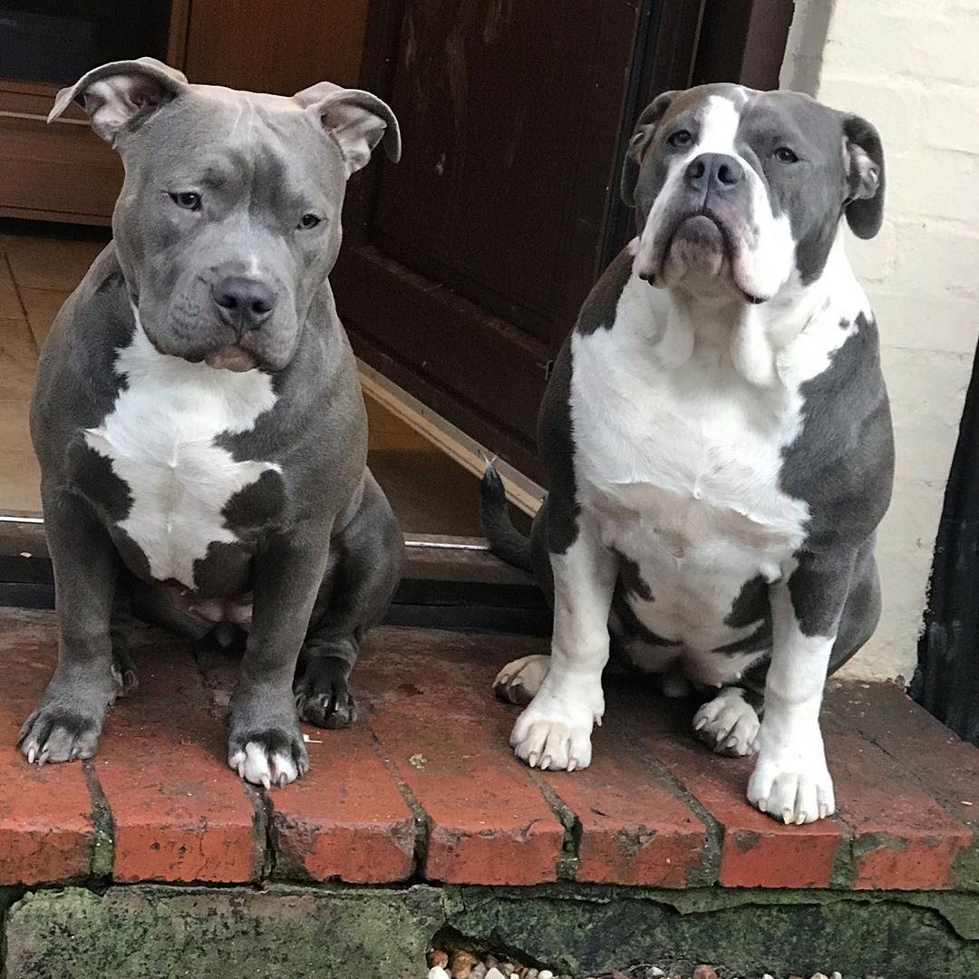 Left Babe 7 Month Old American Bully Standard And Rigt Penny Old