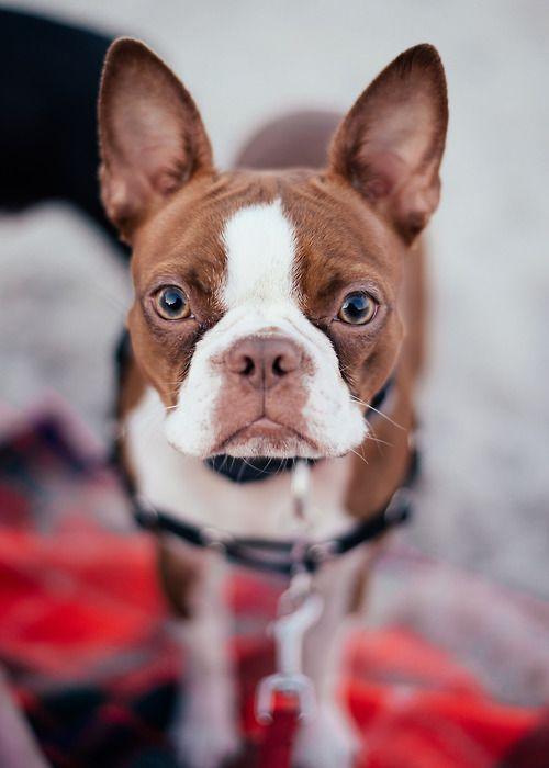 Double George Boston Terriers - Goldenacresdogs com