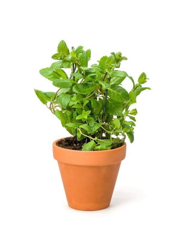 Minze Einpflanzen Und Vermehren Stecklinge Und Ableger Pinterest