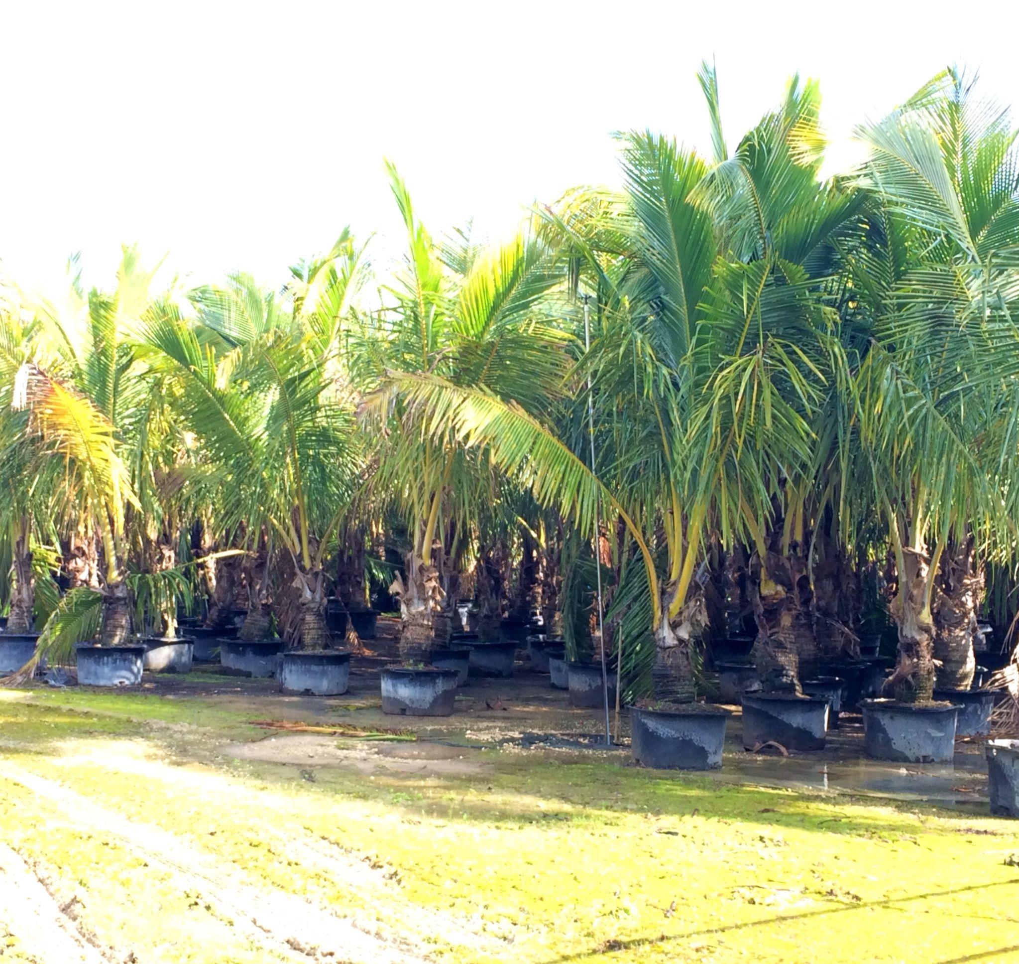 Homestead Wholesale Tree Nursery Coconut Palms Wholesale