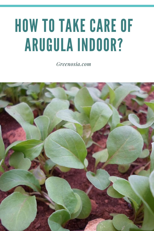 Growing Arugula Indoors : growing, arugula, indoors, Arugula, Indoor?, Plant, Care,, Arugula,, Growing