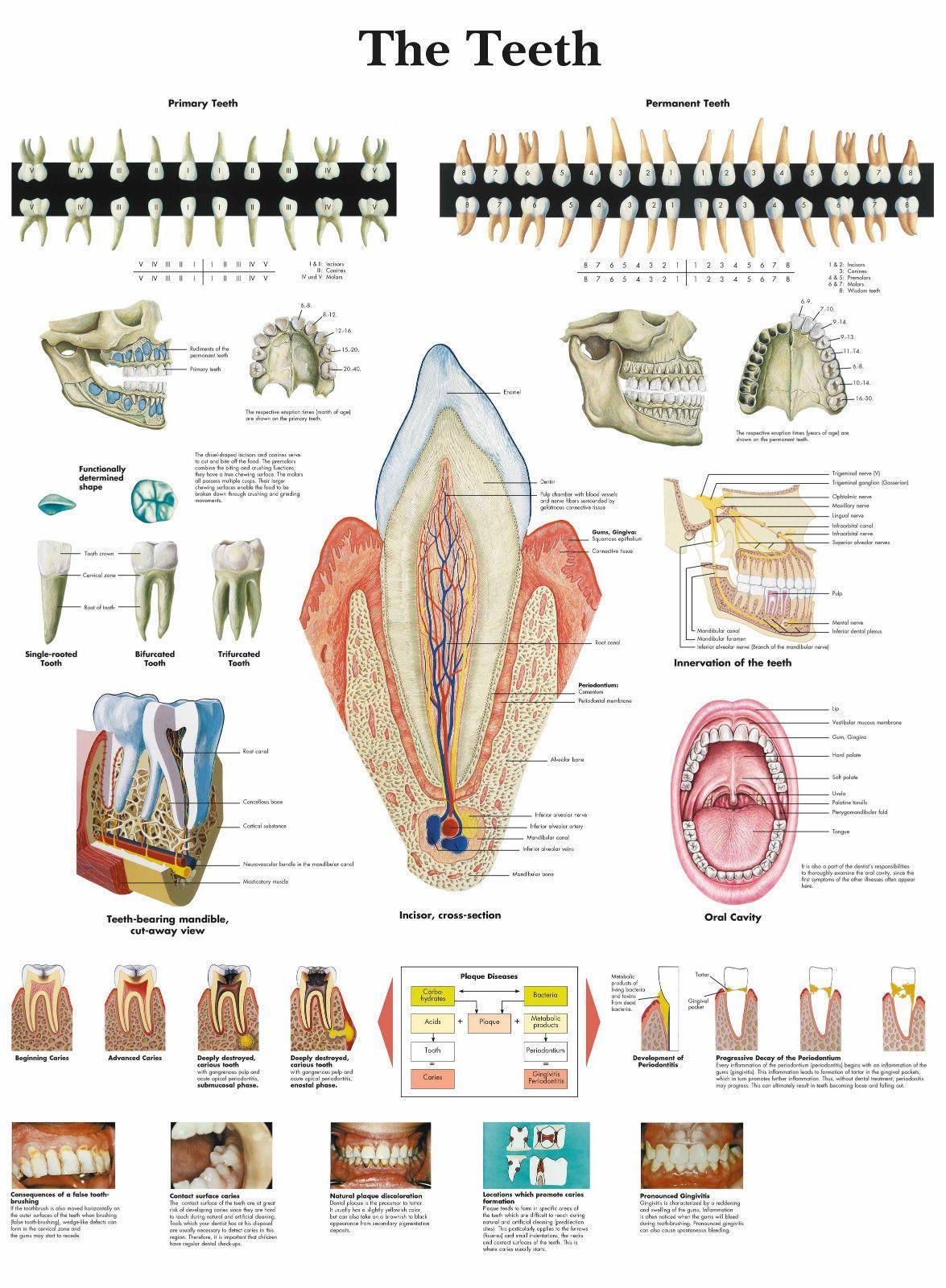 A3 Medical Poster The Human Teeth Text Book Anatomy Pathology