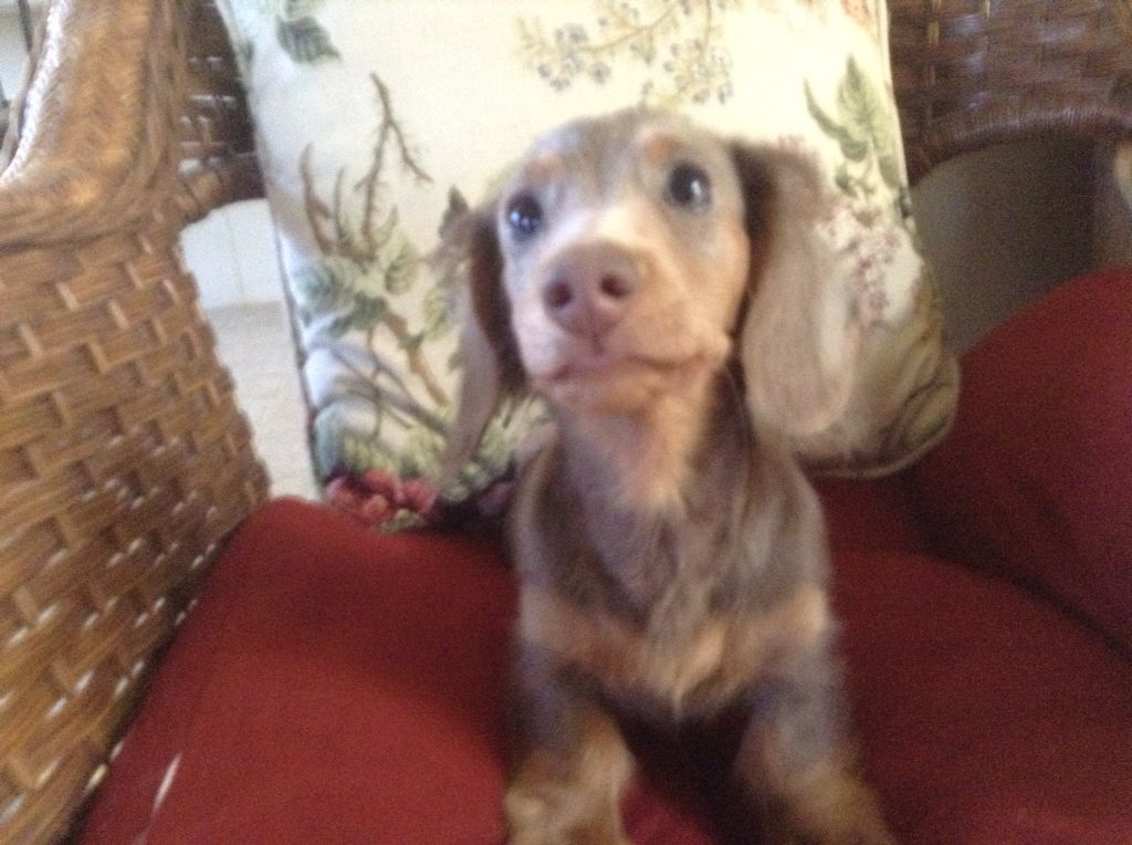We Have A Siver And Tan Dachshund Puppy Dachshund Puppy