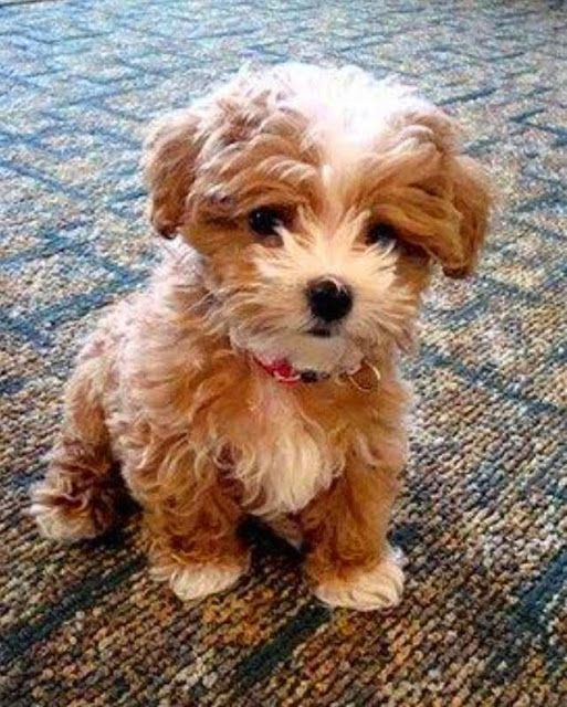 Top 5 Dogs That Are Ideal For Small Apartments Cute Animals