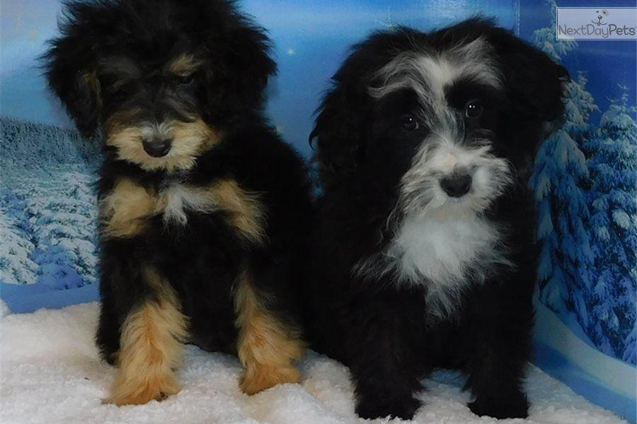 Bo Aussiedoodle Puppy For Sale Near Southeast Missouri