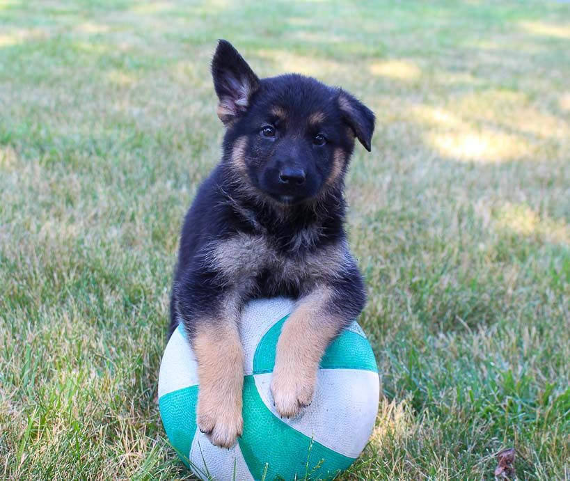 Trixie Akc German Shepherd Puppie For Sale In Grabill Indiana