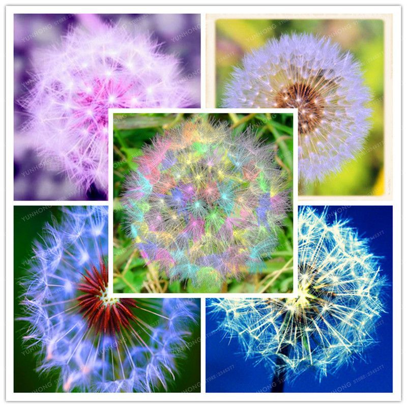100 Pcs Taraxacum Mongolicum Flower Seeds Dandelion Seeds Mongol Dandelion Multi-Colors DIY Home Garden Supplies