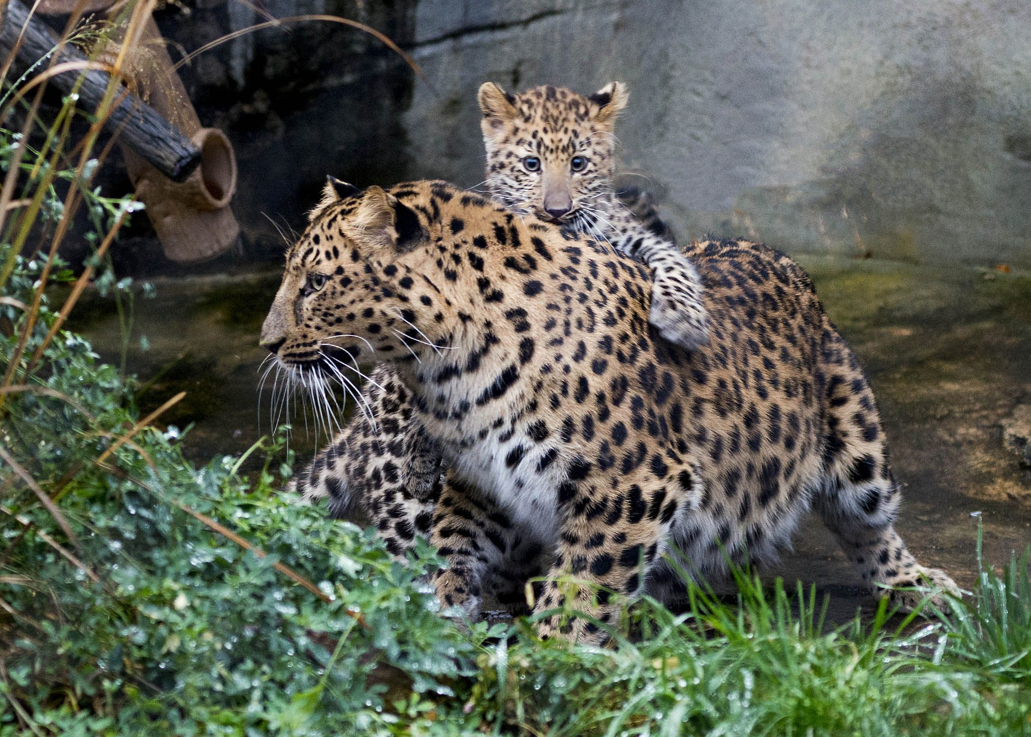 where do jaguars live in the tropical rainforest