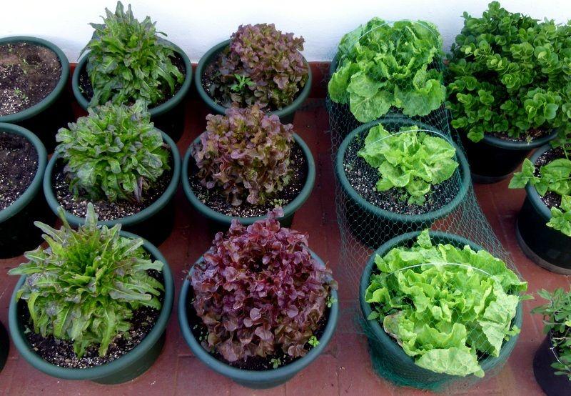 5 tips para germinar vegetales en casa cultivar tus propias hierbas y especias no s lo decoran Cultivar vegetales en casa