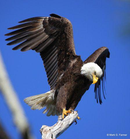 Photo The Eagle Has Landed Wunderground Com Weather Underground Sleeping Dogs Big Animals