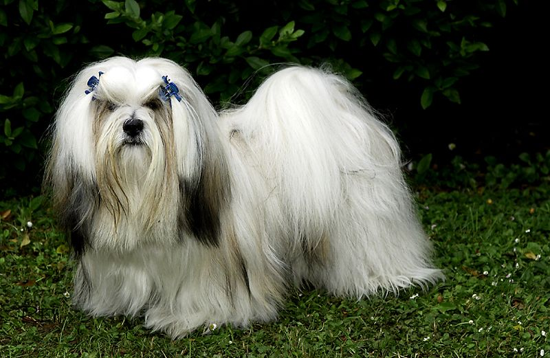 Lhasa Apso The Lhasa Apso One Of The Non Sporting Breeds Comes From Tibet