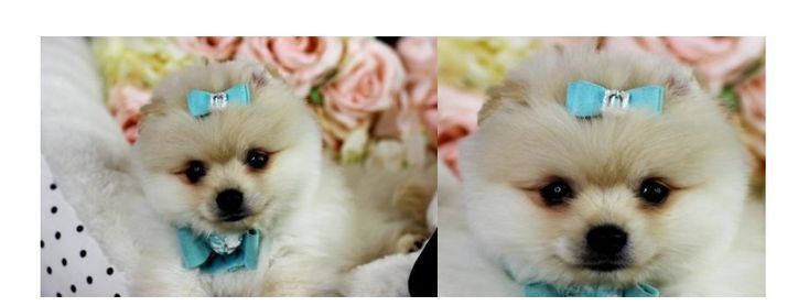 Teacup Pomeranian Puppies, Pomeranian dogs  - Dogs - #Dogs #Pomeranian #Puppies #Teacup #teacuppomeranianpuppy Teacup Pomeranian Puppies, Pomeranian dogs  - Dogs - #Dogs #Pomeranian #Puppies #Teacup #teacuppomeranianpuppy Teacup Pomeranian Puppies, Pomeranian dogs  - Dogs - #Dogs #Pomeranian #Puppies #Teacup #teacuppomeranianpuppy Teacup Pomeranian Puppies, Pomeranian dogs  - Dogs - #Dogs #Pomeranian #Puppies #Teacup #teacuppomeranianpuppy