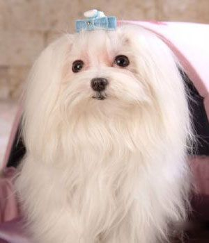 Maltese Dog Get A Free Consultation For Your Dog From Our Friends At Nature S Select Http Naturalpetfooddel Maltese Dogs Maltese Dog Breed White Dog Breeds