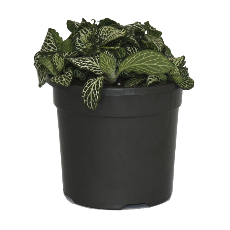 130mm Easy Care Fittonia minima Bunnings Warehouse