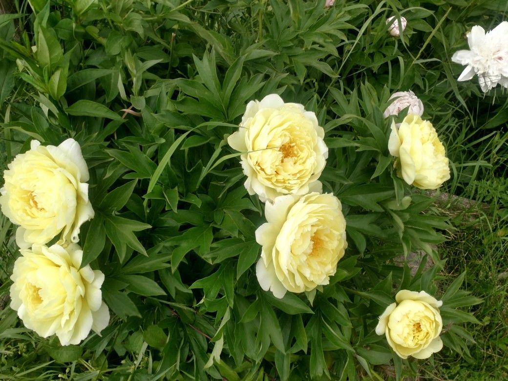 6 blooms yellow peony bush june 142019 front garden