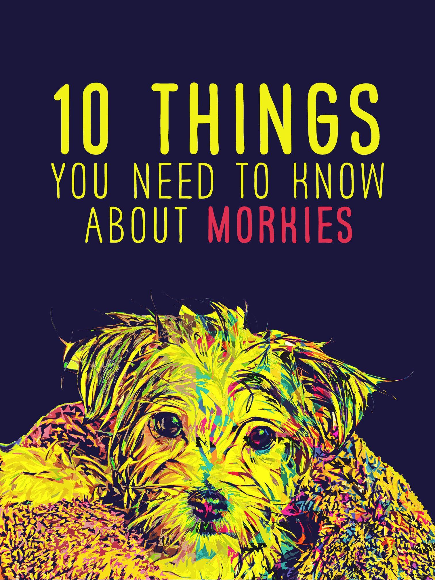 10 things to know about Morkie dogs | The Morkie Guide