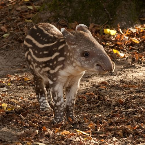 Baby Tapir (has Stripes And Spots)