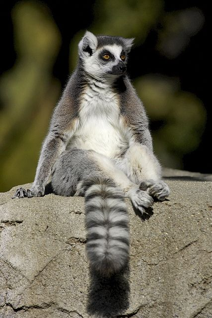Lounging lemur by Official San Diego Zoo, via Flickr