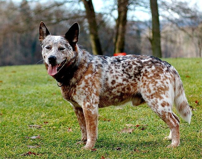 Australian Cattle Dog Brindle Water Sky Heeler Puppies Smartest Dog Breeds Austrailian Cattle Dog