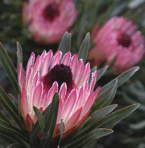 Protea Pixie Garden Express Australian Flowers Australian Native Flowers Australian Plants