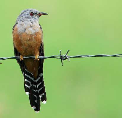 Wiwik Kwlabu Kedasih Cacomantis Merulinus Bird Cuckoo Taxon