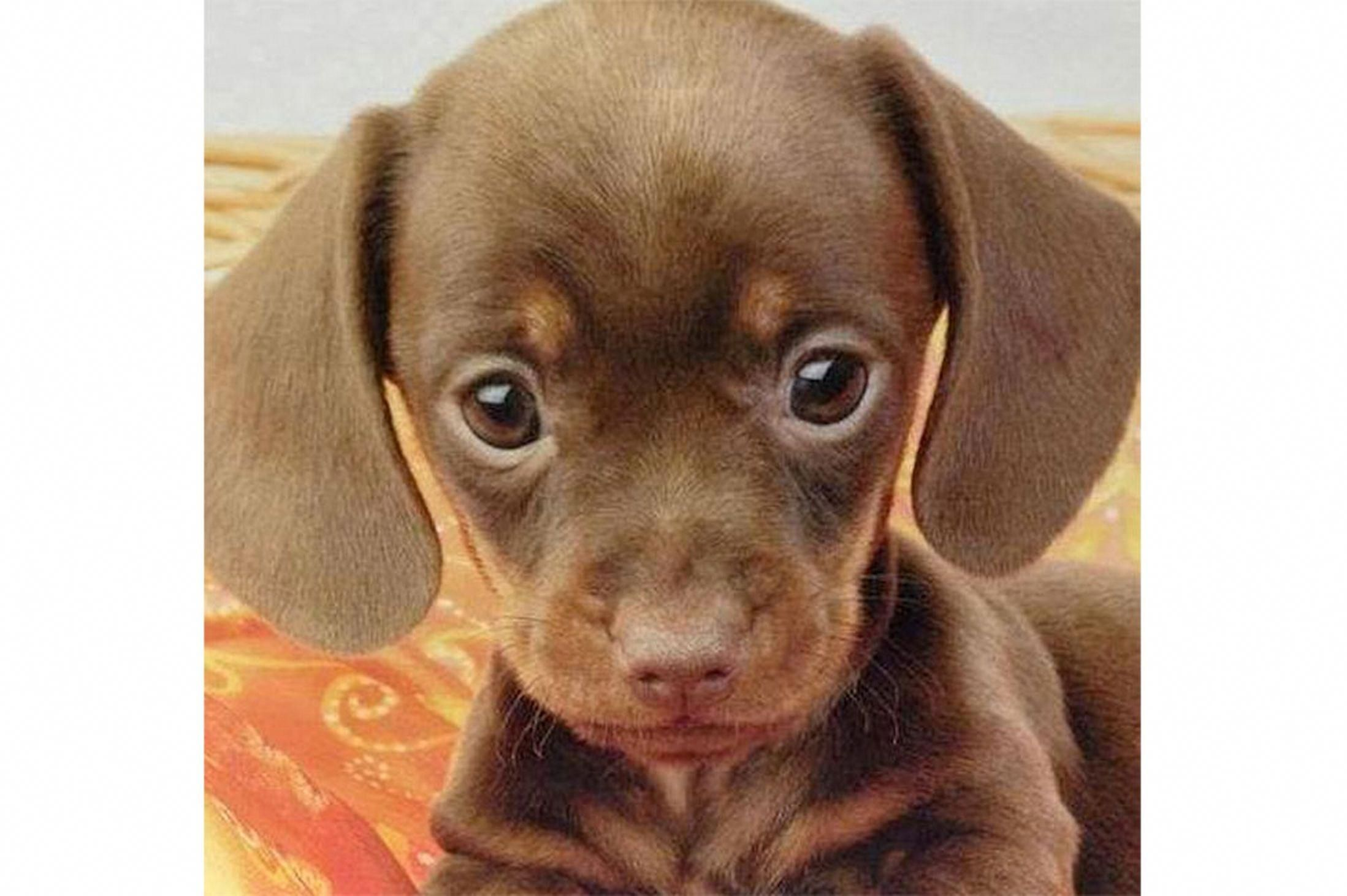 Is This Adorable Dog With A High Forehead The Cutest Puppy Ever