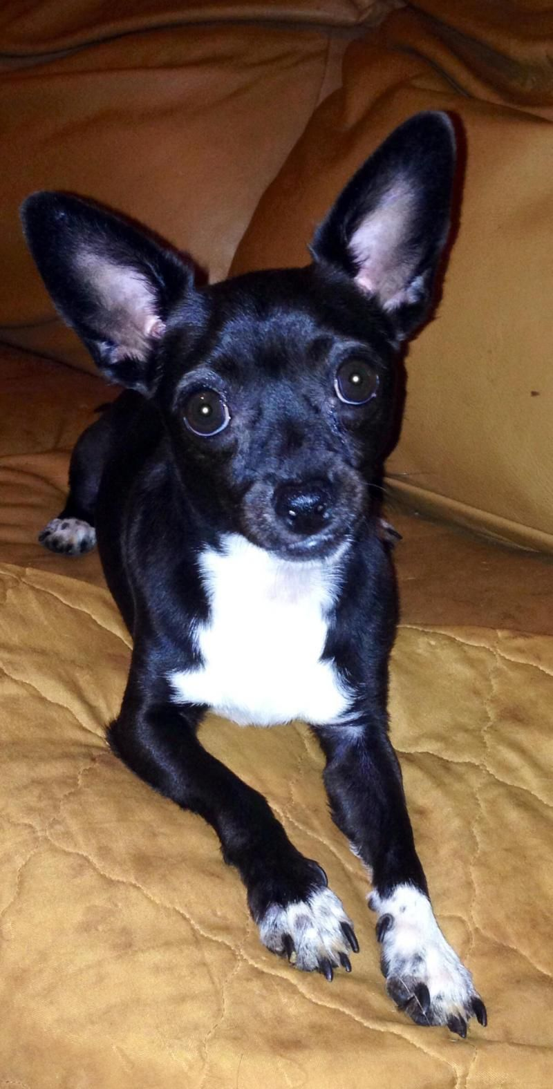 Adopt Seeley on Chihuahua dogs, Dogs, Italian greyhound
