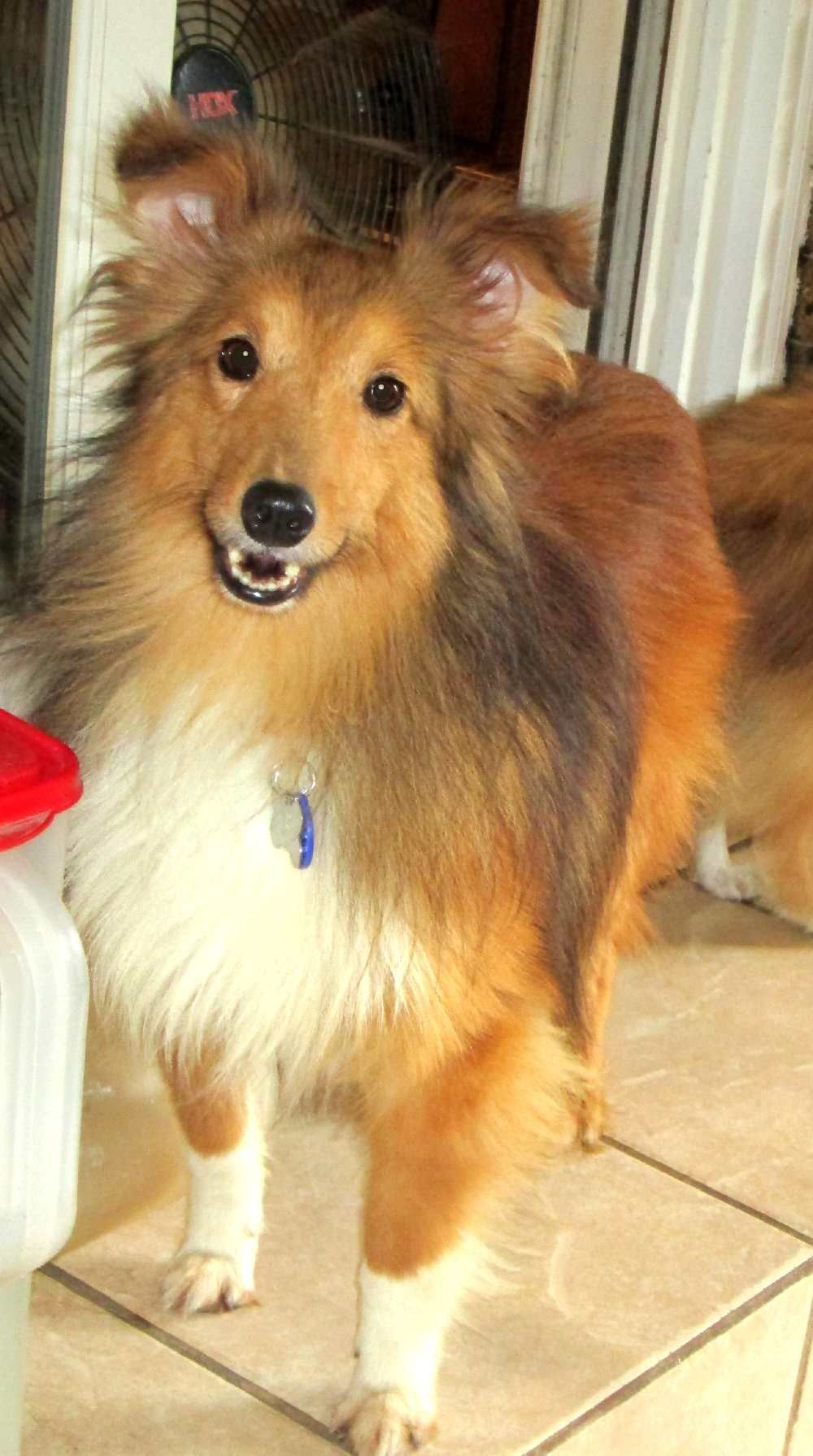 Central Illinois Sheltie Rescue Shelties Available