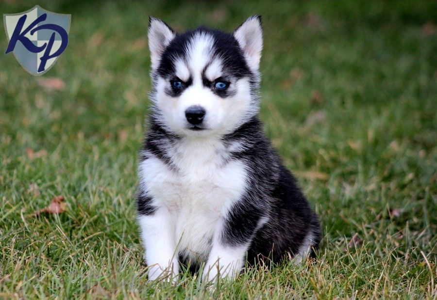 Champ Siberian Husky Puppies for Sale in PA Keystone